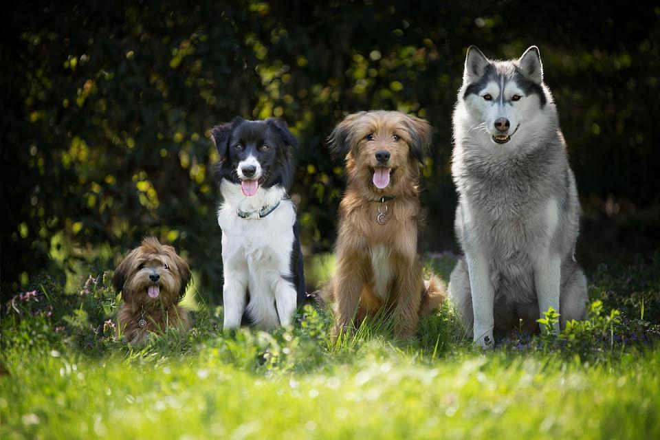 dogs-4189517_960_720.jpg