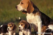 비글 [Beagle]