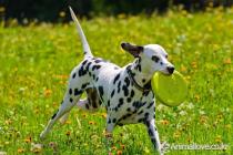 달마시안 [Dalmatian]